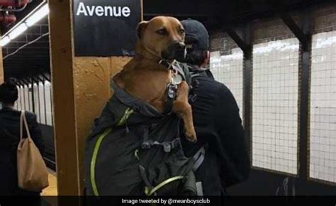 Dogs That Fit In Your Purse by New York Subway Bans Dogs Unless They Fit In A Bag Do
