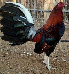 chocolate albany gallo s chocolate albany gamefowl gallos pinterest