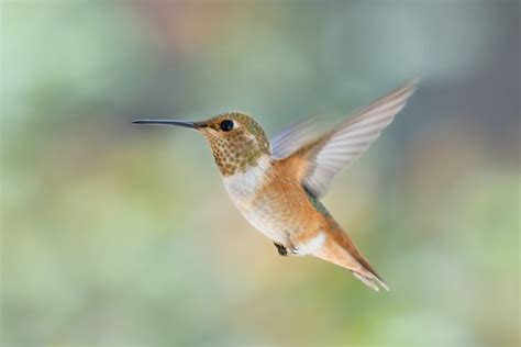 rufous hummingbird hummingbird facts and information