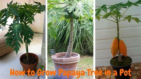 grow papaya   pot step  step process