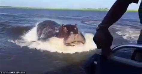 big hippo chasing boat watch a giant hippo charges a speedboat viralspell