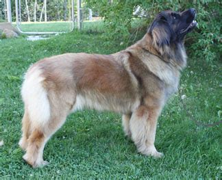 Do Leonbergers Shed by Our Leo Stories Leonberger Club Of Canada