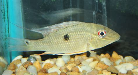 fish for sale freshwater fish for sale freshwater fish for sale
