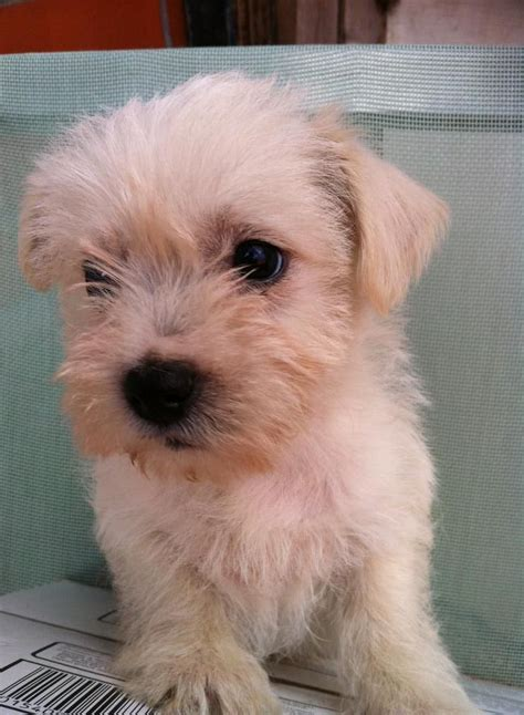 west highland terrier cross shih tzu west highland terrier shih tzu mix www pixshark images galleries with a bite