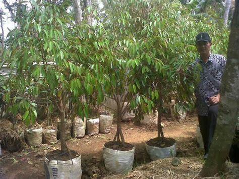 Bibit Durian Bawor Alasmalang Banyumas Kabupaten Banyumas Jawa Tengah bibit durian bhineka bawor bibit durian bhineka bawor