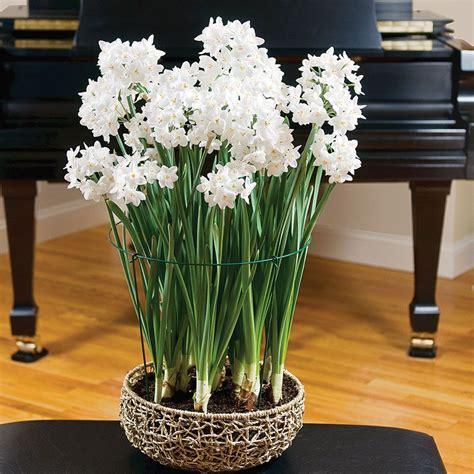 paperwhite ariel kit  natural rope basket white flower