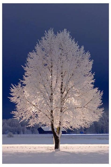 Frosty Tree - beautiful frosty tree frosty winter