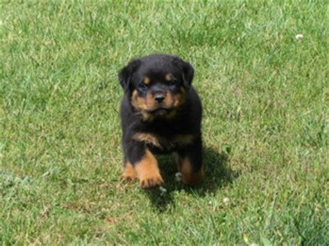 rottweiler puppies for sale tn gentrycreekrottweilers