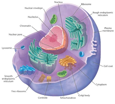 cell diagram labeled animal cells an educational website all about animal cells