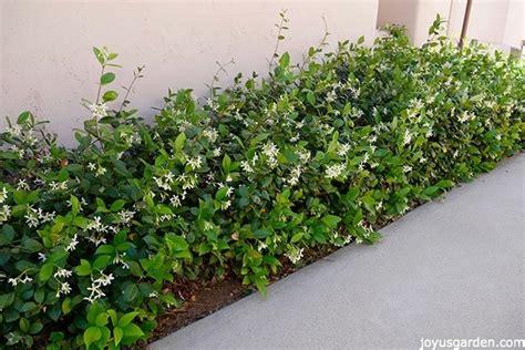 star jasmine care  growing tips joy  garden