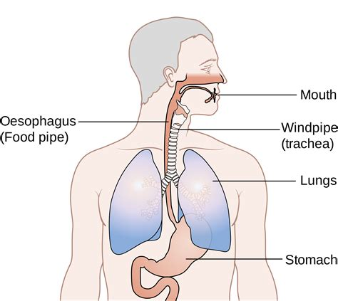 diagram of stomach and esophagus where is the esophageal section of the stomach located
