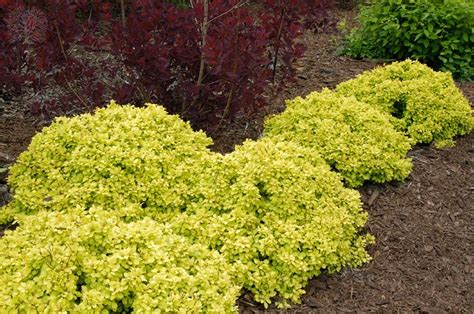 golden nugget dwarf japanese barberry shrub the yellow is just stunning these shrubs stay