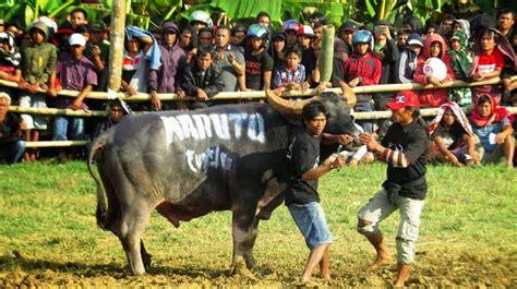 Garuda Vs Banteng keunikan nama nama kerbau di toraja gamara unhas
