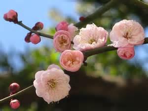 point shoot camera sooc series japanese plum tree blos
