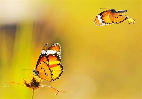 black wallpaper with yellow butterflies wallpaper yellow butterfly 1571 yellow butterfly