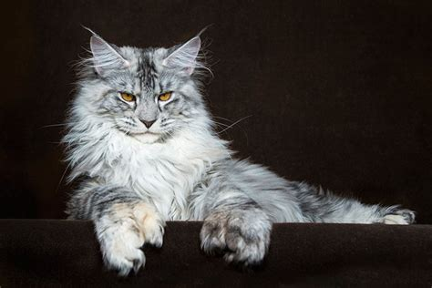14 Incredible Portraits Of Maine Coon Cats You Need To See