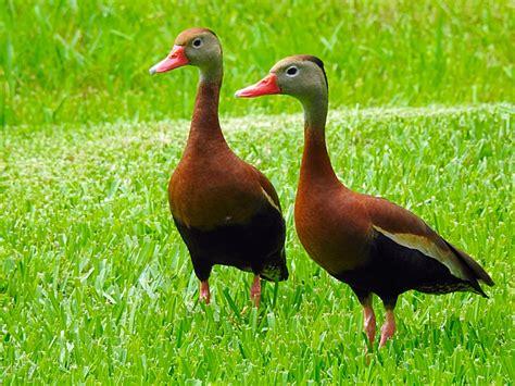 black bellied whistling ducks tgo nature center