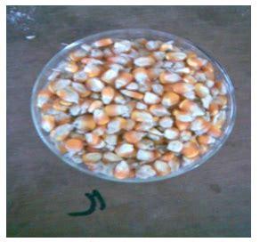 Produksi Jagung Pakan Ternak go livestock bahan pakan ternak jagung