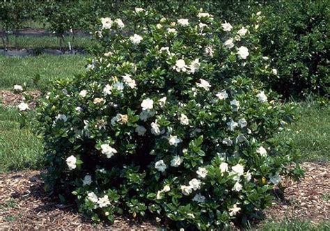 Gardenia Shrub Beechwood Landscape Architecture And Construction Cape