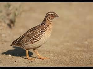 quail sounds youtube