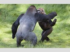 The Silver Back Gorilla | Facts & Images-Photos | The Wildlife Genetics Jokes