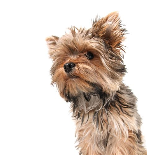 yorkie breeds types yorkie coat types yorkie coat types terrier breed information