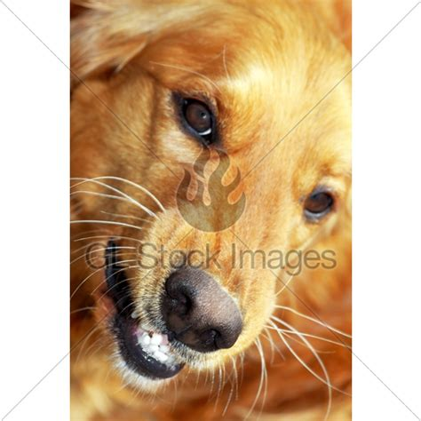 angry golden retriever portrait 183 gl stock images