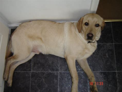 11 month golden retriever seb 11 month golden labrador retriever all about labradors