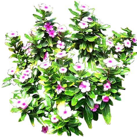Flowering Shrubs Texas - nerium oleander plant care guide auntie dogma s garden spot