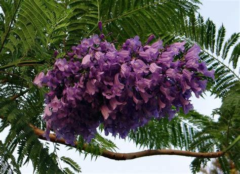imagenes de flores jacaranda jacarand 225 cultivo usos aplicaciones d 243 nde vive