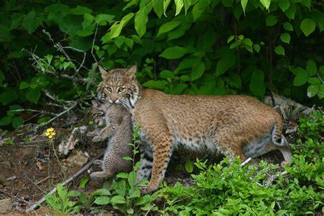 lince rojo fotos del lince rojo el ojo del buitre felinos lince rojo lynx rufus