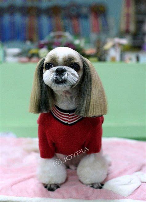 shih tzu not feeling well korean grooming style shih tzu grooming rocks to and