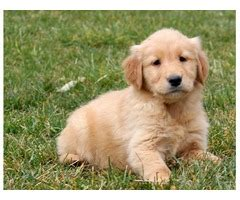 golden retriever breeders in western pa fundamental golden retriever puppies for sale animals akron pennsylvania