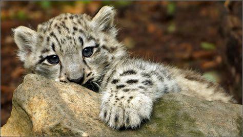 Snow Leopard Whelp   Portrait of a three month old snow