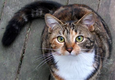 What type of cat is this? Tabby or calico?   Yahoo Answers