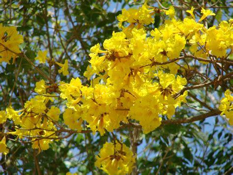 Bibit Bunga Tabebuia bunga tabebuia si kuning cantik yang mirip bunga