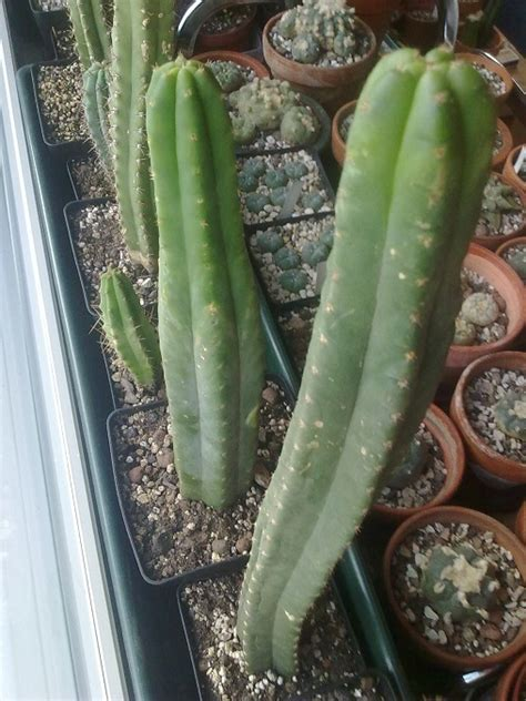 i want to learn to identify psychoactive cacti home depot