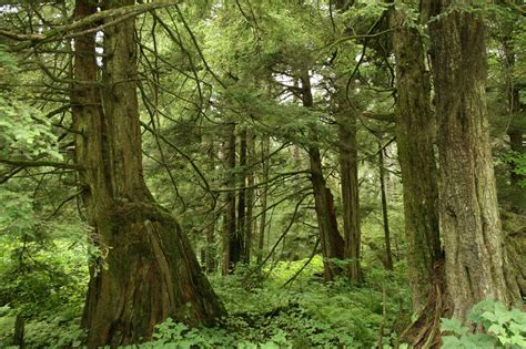 Forest L by File Tsuga Heterophylla Forest Jpg