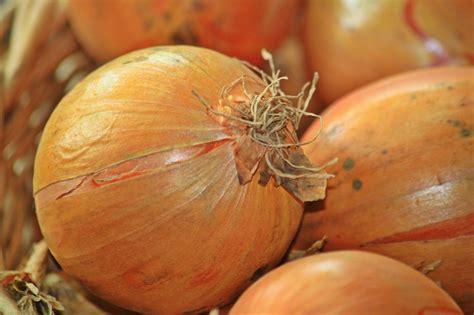 piantare cipolle in vaso cipolle coltivare in co o r t e g g i a n d o