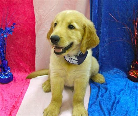 about puppies golden retriever puppy all about puppies
