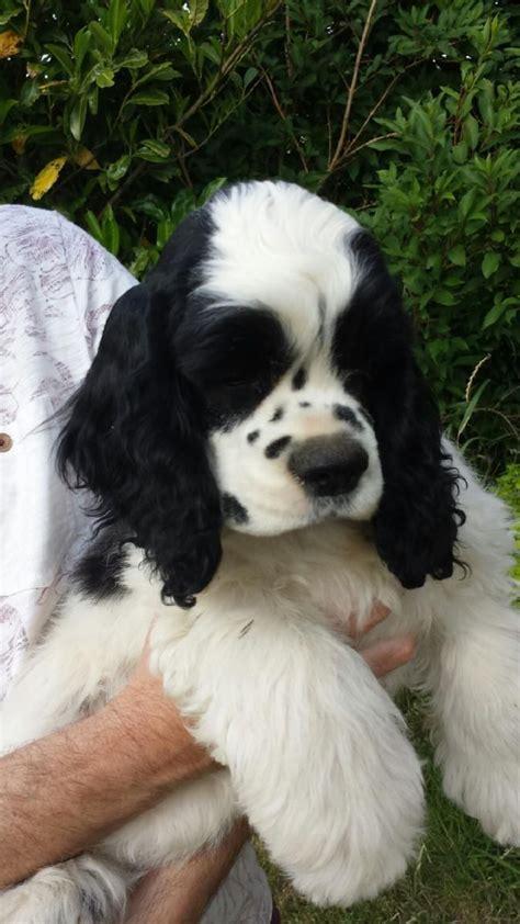 American Cocker Spaniel Puppy | Halifax, West Yorkshire ...