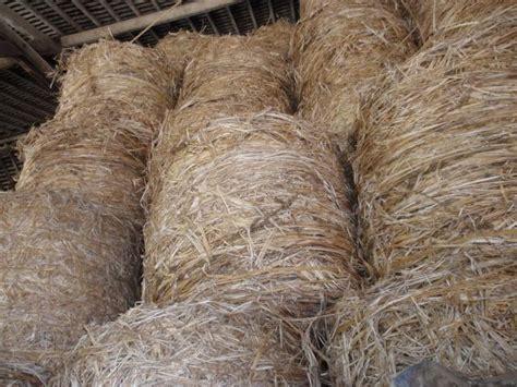 canapé indien hemp cannabis feedipedia