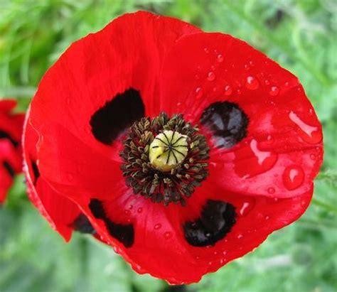 poppy bunga benih poppy ladybird 50 biji non retail bibitbunga