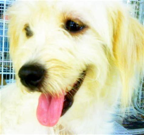 shih tzu and golden retriever golden retriever shih tzu puppy adopted 9 years 5 months pf4618 from ang