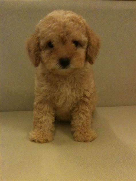 micro teacup poodle lifespan teacup poodle rescue uk dogs in our photo