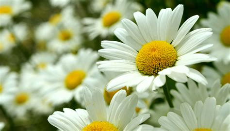 wallpaper flower daisy daisy flowers images the sign of purity and innocence