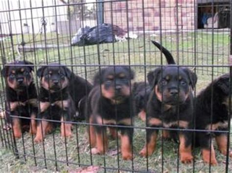 rottweiler puppies for sale canberra for sale purebred rottweiler puppies