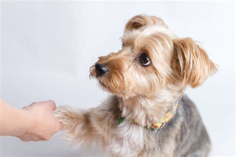 how to your yorkie to on a pad pictures of paw problems breeds picture
