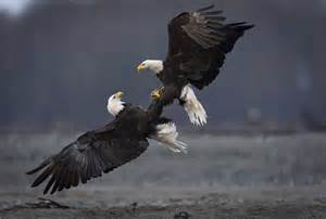bald eagle our nations bird manifold