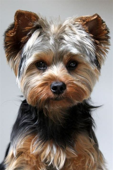 cute shorkie haircuts 58 best images about yorkshire terriers on pinterest
